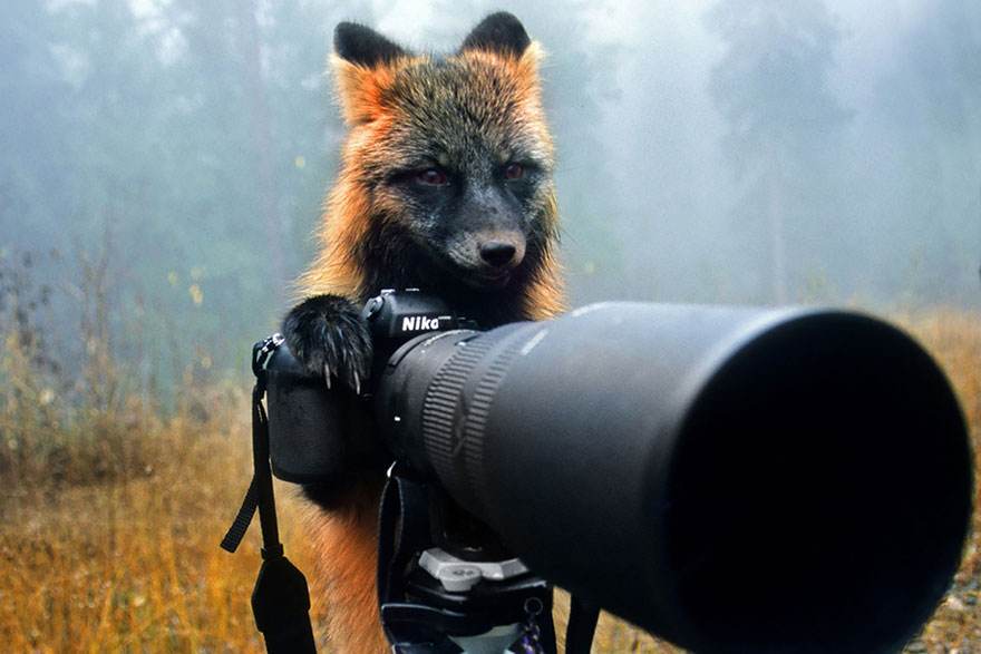Fox With Camera