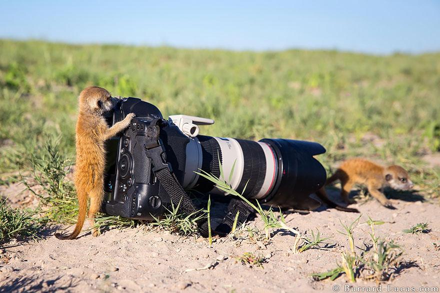 Meerkat With Camera