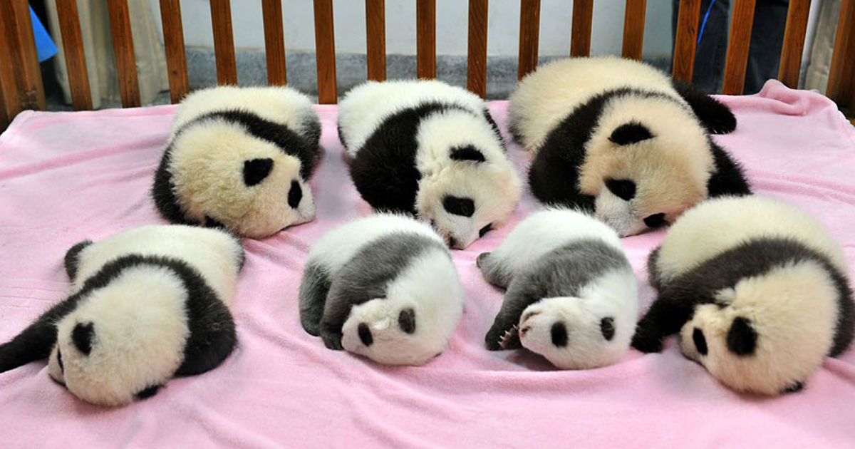 "Panda ""Daycare"" Exists And Is Most Adorable Place On Earth"