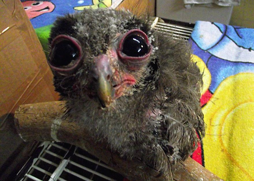 baby-tawny-owl__880.jpg