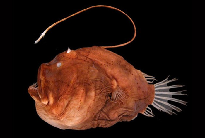 15 things that look just like donald trump bored panda for Where do angler fish live