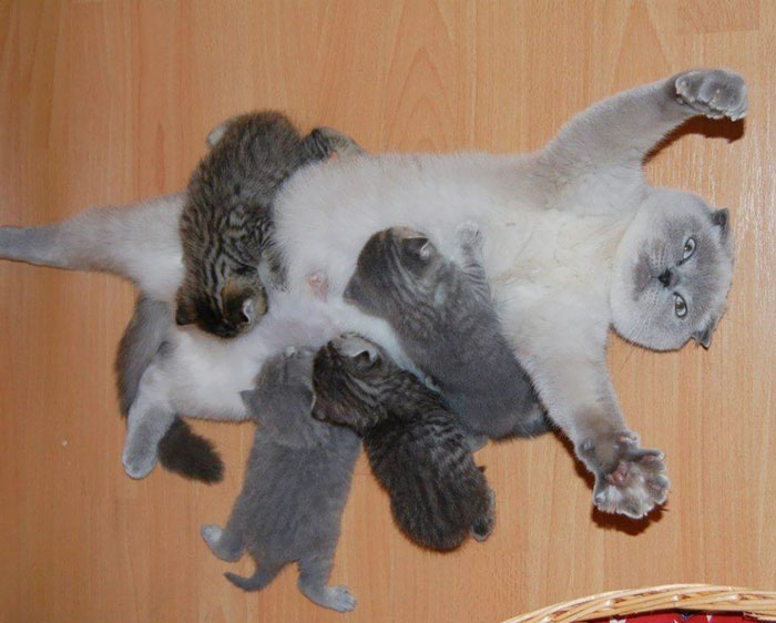 breastfeeding-cat-mother-kittens-overwhe
