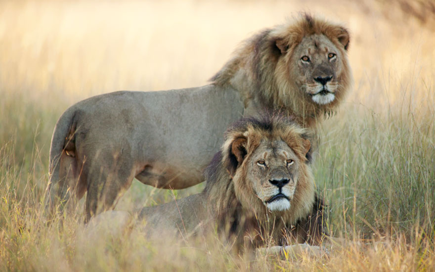 cecil-lion-illegal-hunting-internet-backlash-walter-palmer-zimbabwe-11