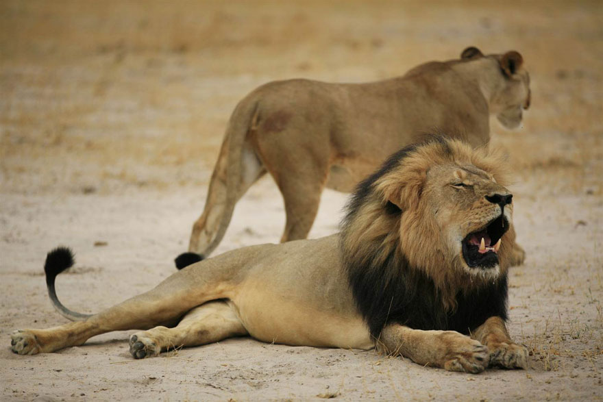 cecil-lion-illegal-hunting-internet-backlash-walter-palmer-zimbabwe-12