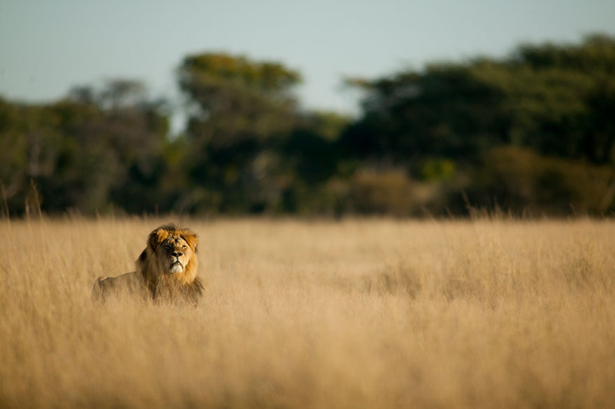 cecil-lion-illegal-hunting-internet-backlash-walter-palmer-zimbabwe-20