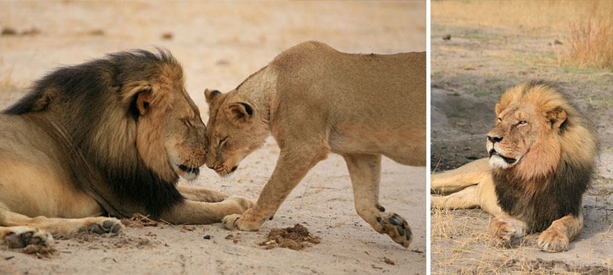 cecil-lion-illegal-hunting-internet-backlash-walter-palmer-zimbabwe-21
