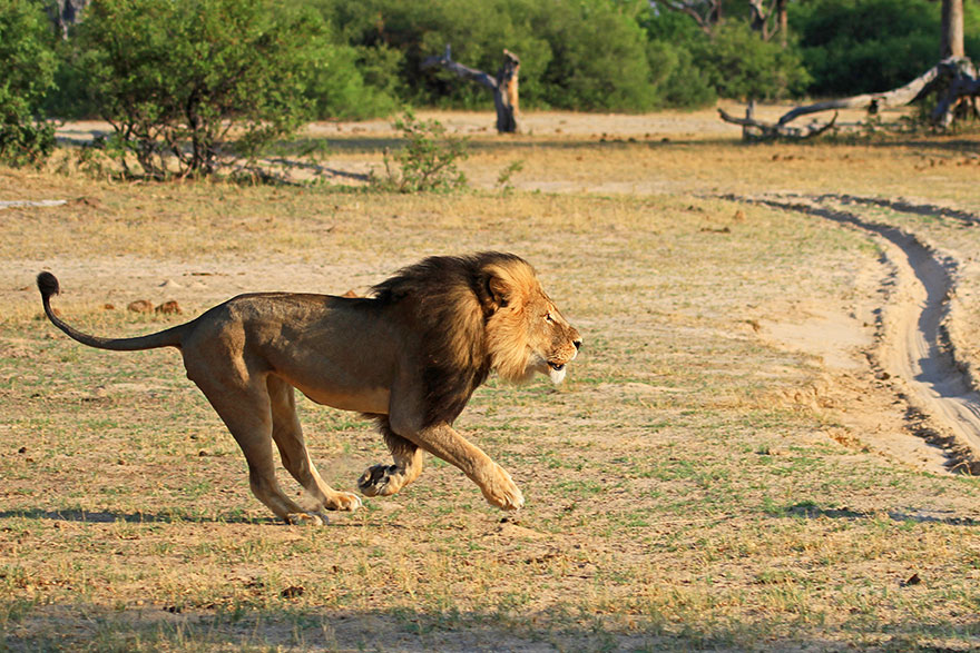 cecil-lion-illegal-hunting-internet-backlash-walter-palmer-zimbabwe-5