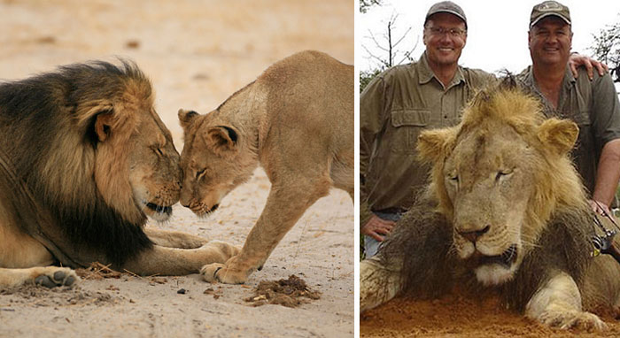 After Killing Famous Lion, Internet Outrage Forces The Killer To Close His Dental Office