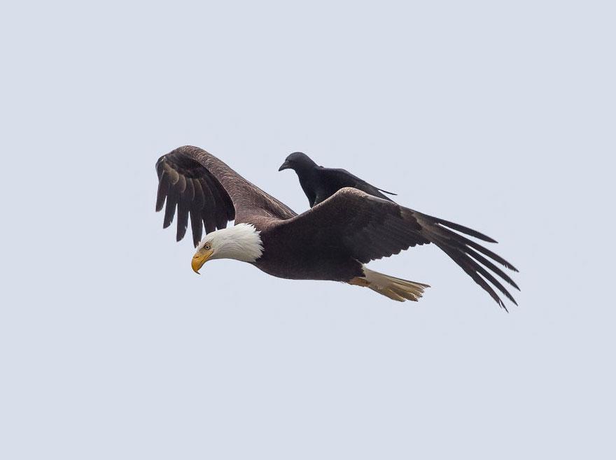 crow-rides-eagle-bird-photography-phoo-c
