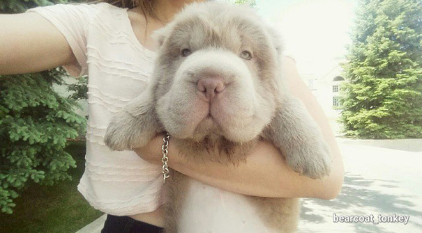 cute-bear-lookalike-dog-tonkey-21