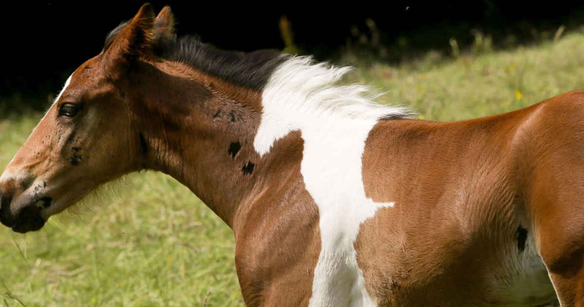 Baby Horse Born With Horse Shaped Marking Bored Panda