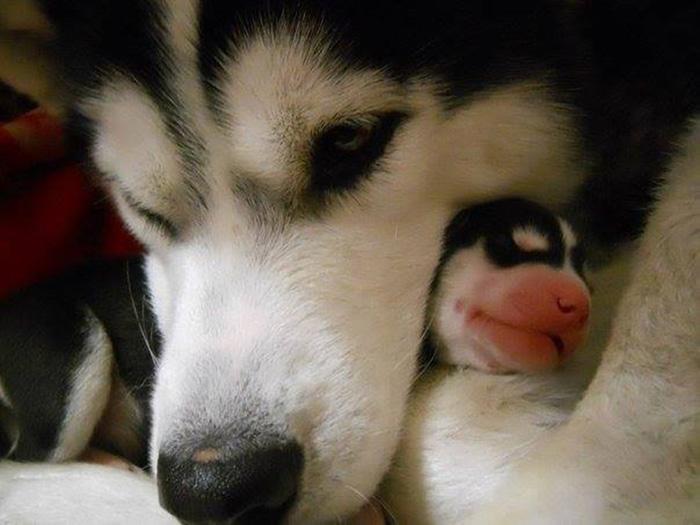 Husky And Its Baby