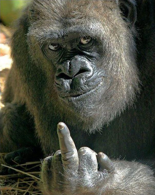 gorilla-middle-finger-bob-pitchford-bristol-zoo-1