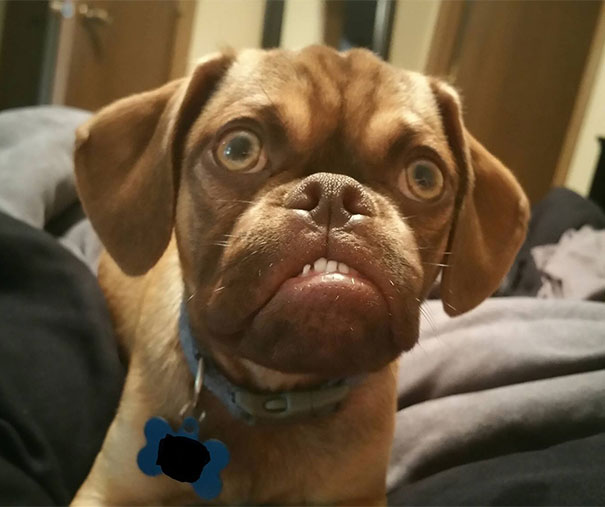 grumpy-dog-earl-puggle-meme-2