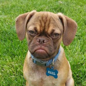 Grumpy Dog Hates You Even More Than Grumpy Cat