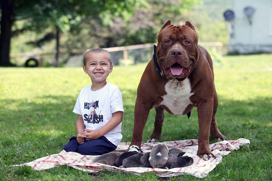"World's Largest Pitbull ""Hulk"" Has 8 Puppies Worth Up To ..."