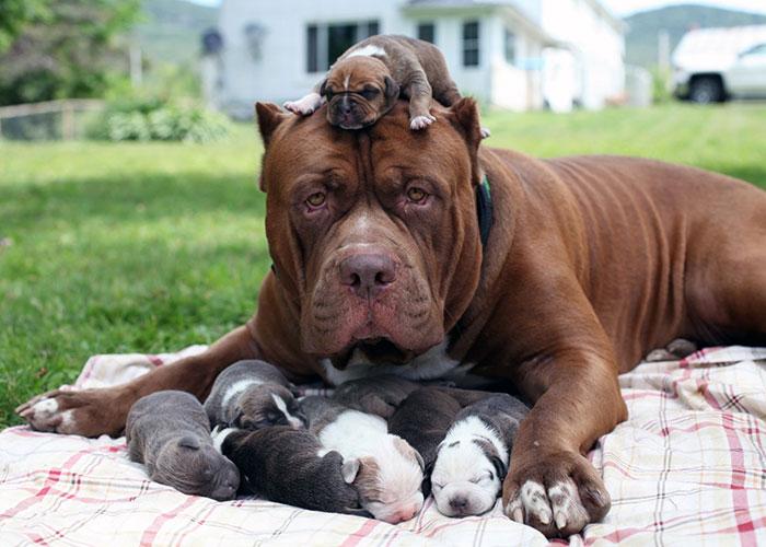 "World's Largest Pitbull ""Hulk"" Has 8 Puppies Worth Up To Half A Million Dollars"