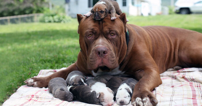 Worlds Largest Pitbull Hulk Has 8 Puppies Worth Up To Half A