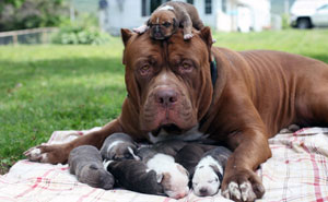 "World's Largest Pitbull ""Hulk"" Has 8 Puppies Worth Up To Half A Million Dollars"