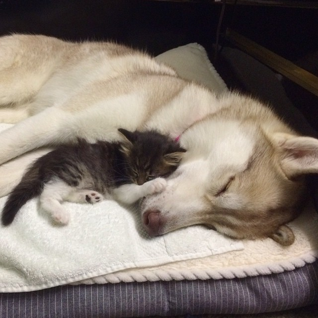 husky-dog-mother-rescues-kitten-lilo-rosie-4