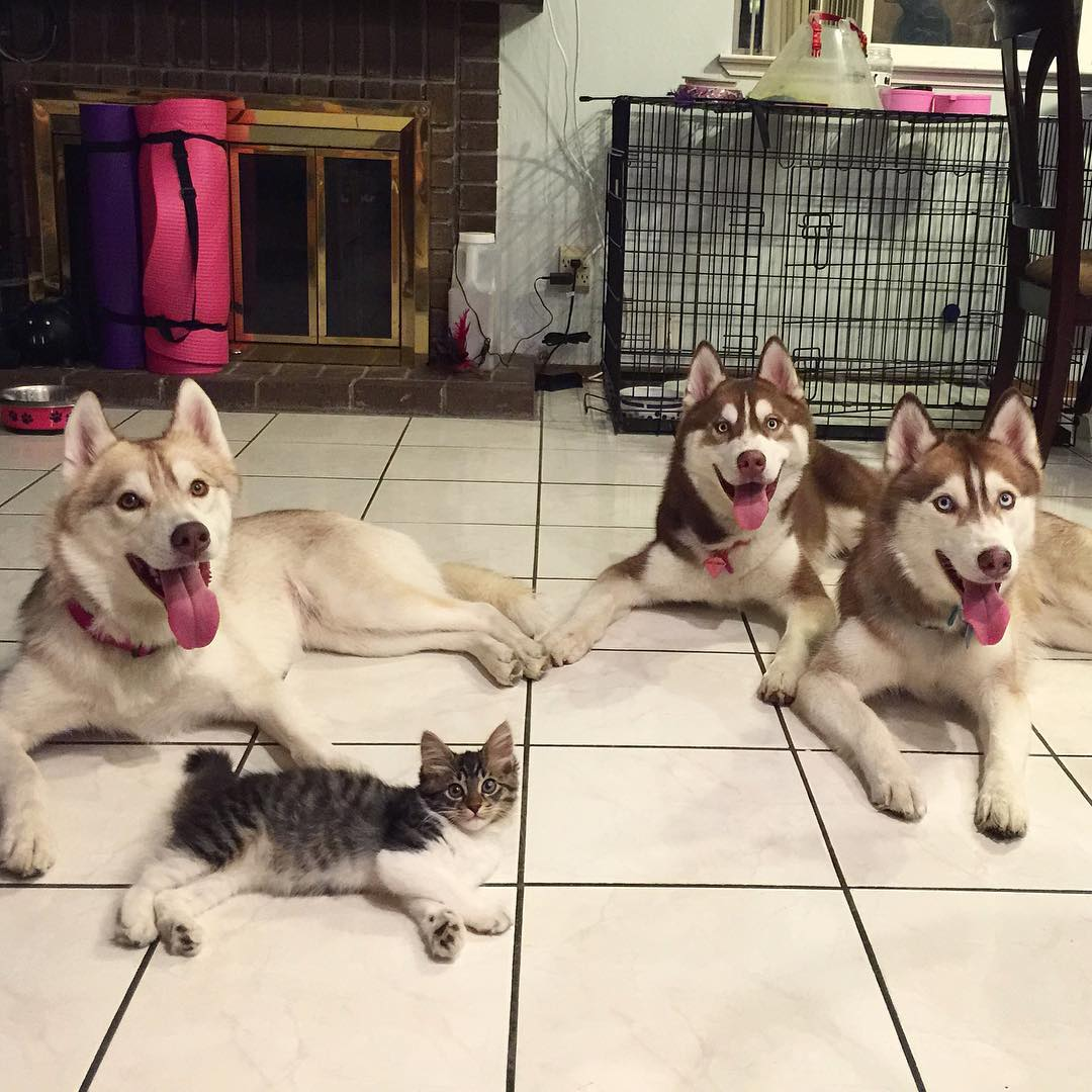 husky-dog-mother-rescues-kitten-lilo-rosie-5