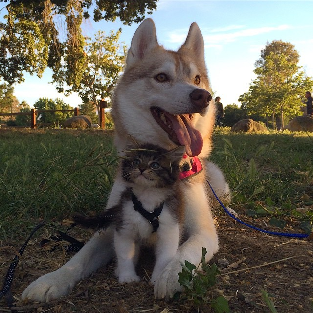 husky-dog-mother-rescues-kitten-lilo-rosie-9
