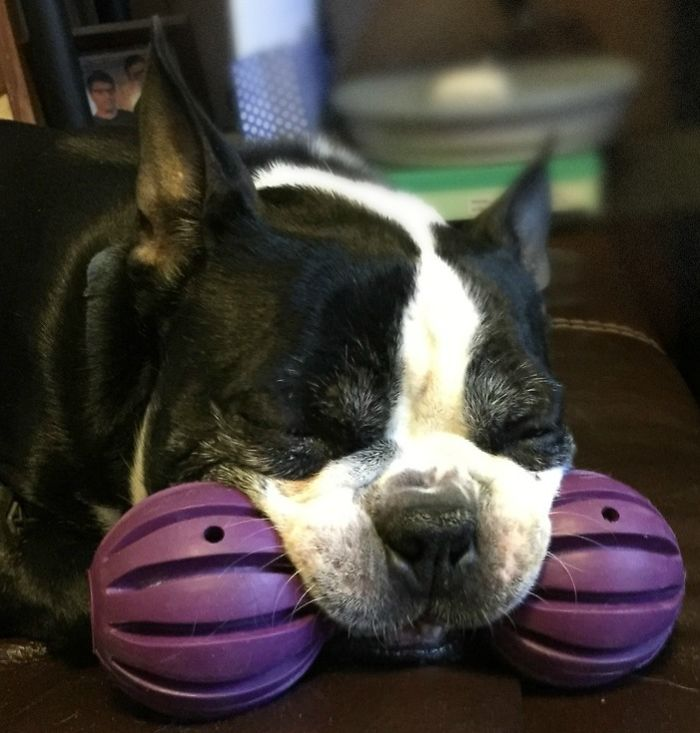 My Boston Terrier Is Type A Alpha Dog