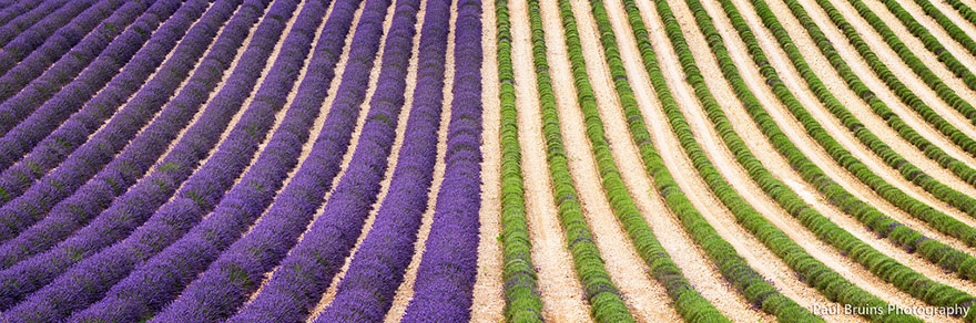 lavender-fields-harvesting-3