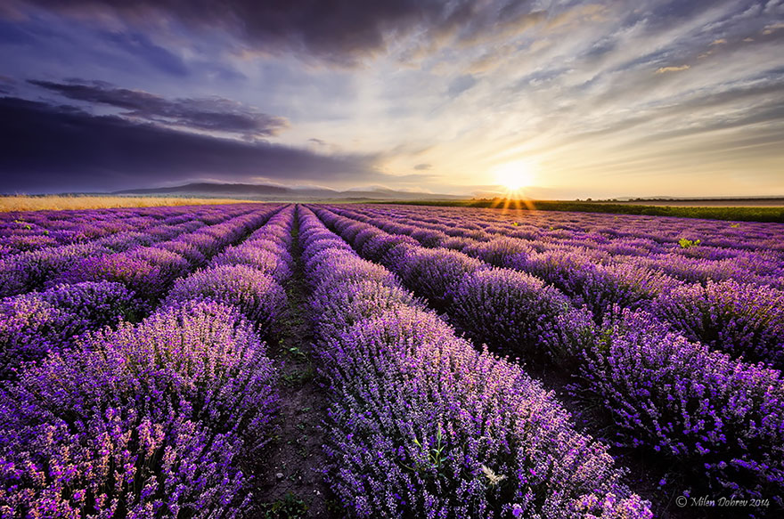lavender-fields-harvesting-6
