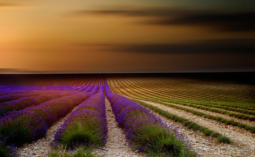 lavender-fields-harvesting-7