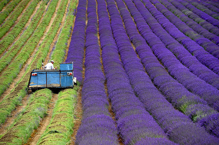 The Hypnotizing Beauty Of Harvesting Lavender (8 pics)