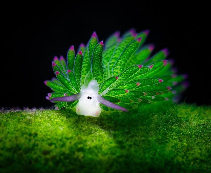 leaf-sheep-sea-slug-costasiella-kuroshim