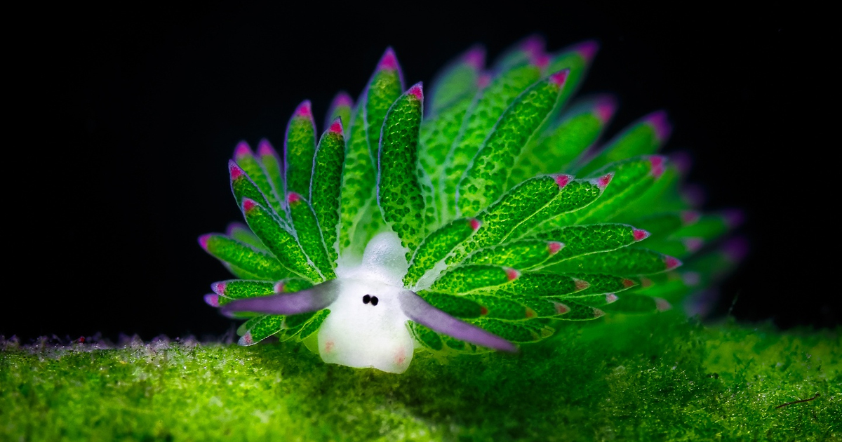 [Image: leaf-sheep-sea-slug-costasiella-kuroshimae-fb.jpg]