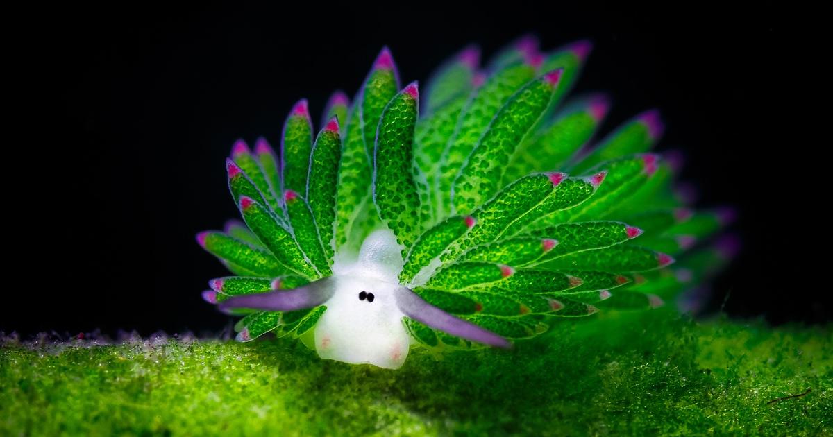 Sea Sheep? This Adorable Sea Slug Eats So Much Algae It Can Photosynthesize
