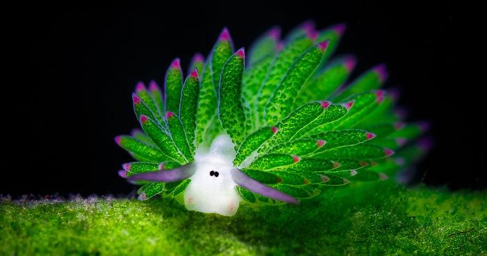 「Costasiella kuroshimae」的圖片搜尋結果