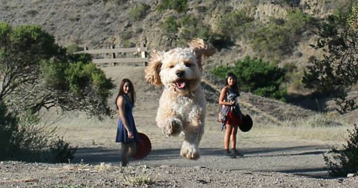Perfectly Timed Photos That Turn Dogs Into Giants Bored Panda - Guy uses photoshop to turn his miniature dog into a giant