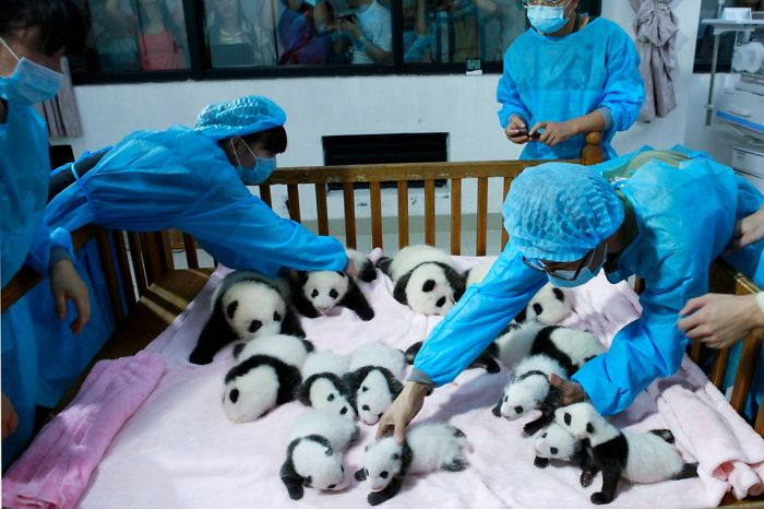 Маленькая панда хочет сбежать (видео)