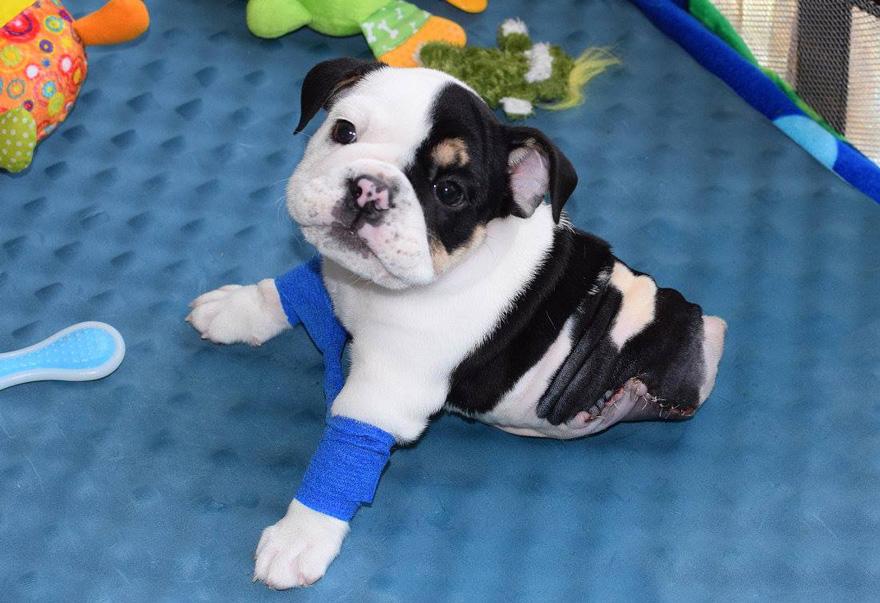 puppy-born-2-legs-half-bulldog-twice-heart-bonsai-18