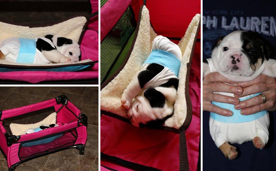 puppy-born-2-legs-half-bulldog-twice-heart-bonsai-20