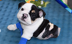 Half A Dog, Twice The Love: Rescued Puppy Born With 2 Legs Needs Your Help