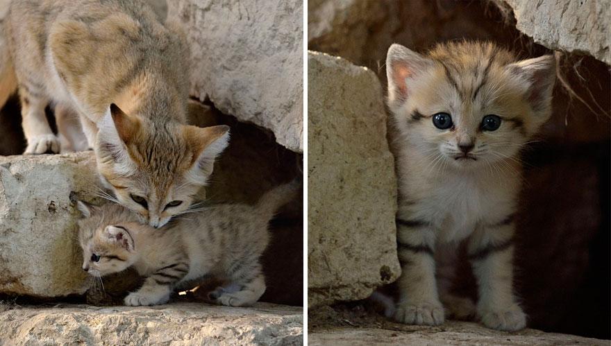 sand-cats-kittens-forever-10