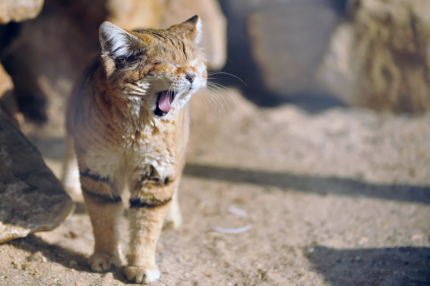 Sand Cats: Where The Adults Are Kittens And The Kittens Are Also Kittens
