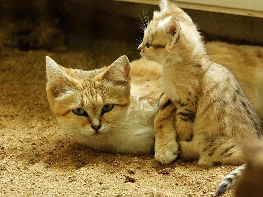 sand-cats-kittens-forever-14
