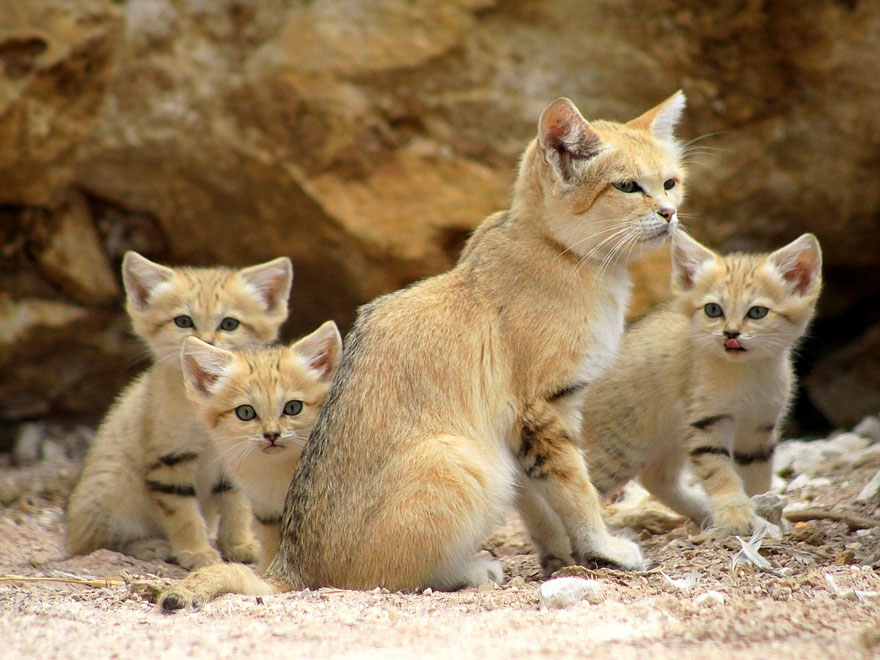 Image result for sand cats
