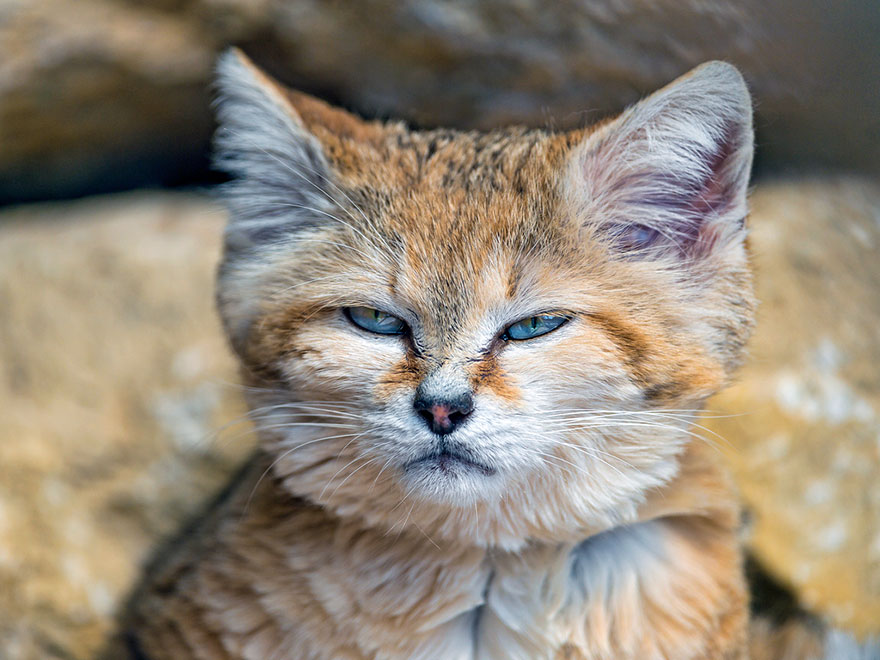 sand cats where the adults are kittens and the kittens are also kittens bored panda