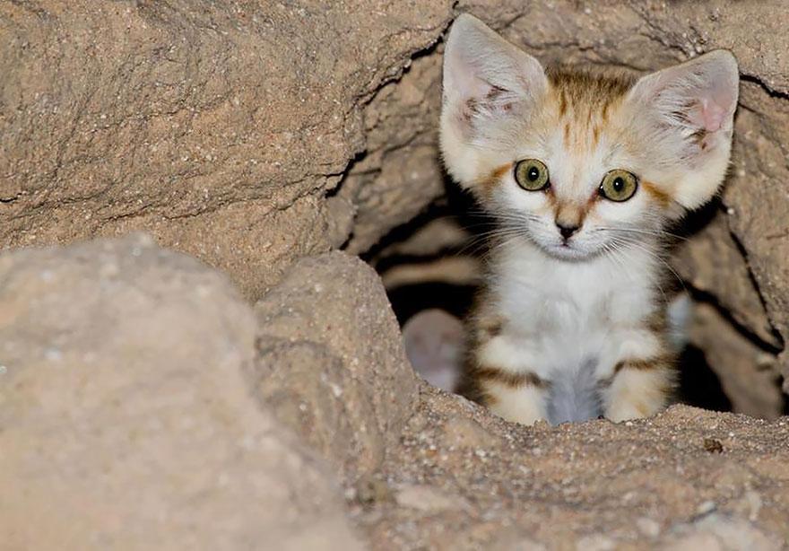 Коты Sand-cats-kittens-forever-4__880