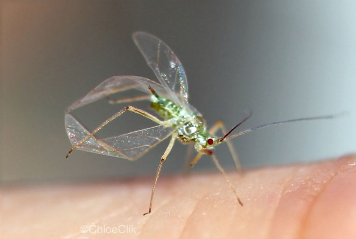 I Photographed An Acrobatic Aphid