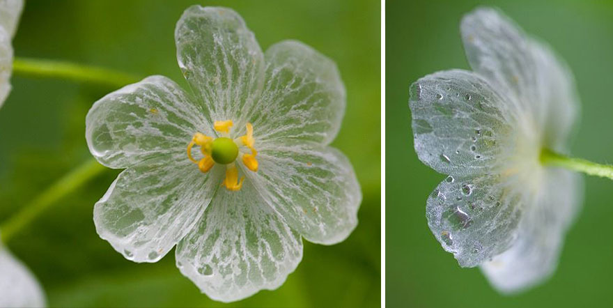 Skeleton Flowers Become Transparent When It Rains