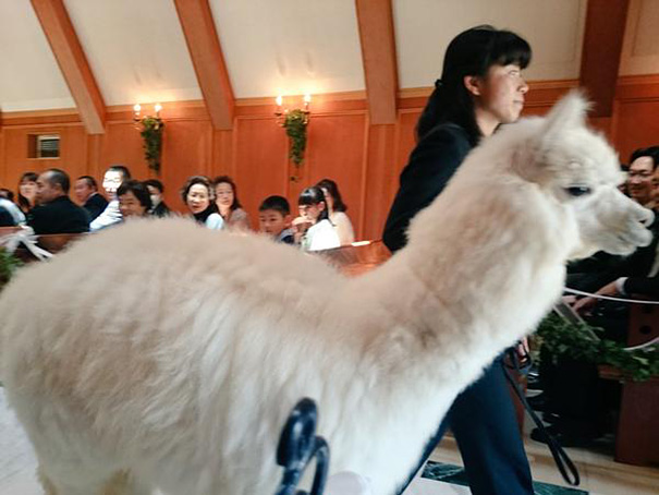 wedding-alpaca-witness-Epinard-Nasu-japan-2