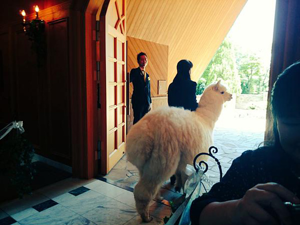 wedding-alpaca-witness-Epinard-Nasu-japan-3